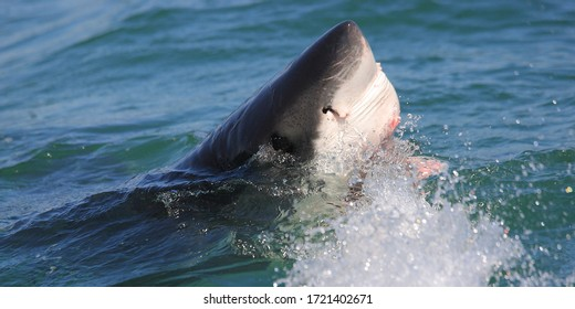 great white shark, Carcharodon carcharias, surfacing in False Bay, South Africa, Atlantic Ocean; nostril and ampullae of Lorenzini can be observed clearly