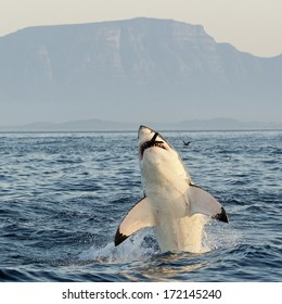 Great White Shark (Carcharodon carcharias) breaching in an attack on seal and swallowed a seal entirely, tips of flippers are visible only. South Africa