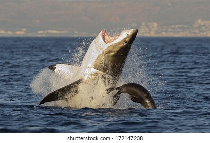 Great White Shark (Carcharodon carcharias) breaching in an attack on seal , South Africa