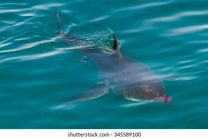 Great white shark ( Carcharodon carcharias) and pink jellyfish at the ocean. Pacific ocean near the coast of South Africa