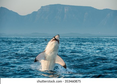 Great White Shark (Carcharodon carcharias) breaching in an attack on seal and  swallowed a seal. Hunting of a Great White Shark (Carcharodon carcharias). South Africa