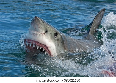 Shark images stock photos vectors shutterstock great white shark carcharodon carcharias altavistaventures Images