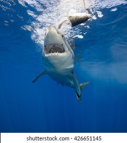 Great white shark, carcharodon carcharias,  underwater at Guadalupe Island Mexico