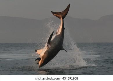 great white shark, Carcharodon carcharias, breach on seal shaped decoy, False Bay, South Africa, Atlantic Ocean