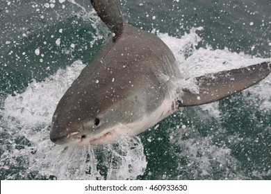 great white shark, Carcharodon carcharias, breaching, Mossel Bay, South Africa, Indian Ocean
