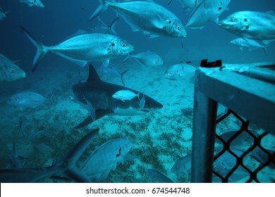 great white shark, Carcharodon carcharias, approaching the bottom cage surrounded by silver trevallies, Pseudocaranx georgianus, Neptune Islands, South Australia, Indian Ocean