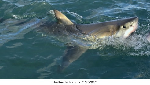 Great White Shark (Carcharodon carcharias) in ocean water an attack. Hunting of a Great White Shark (Carcharodon carcharias). South Africa