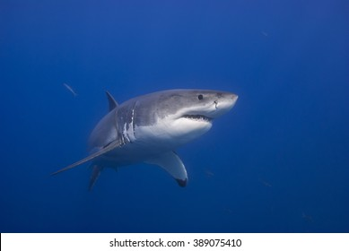 Great white shark in clear blue water.