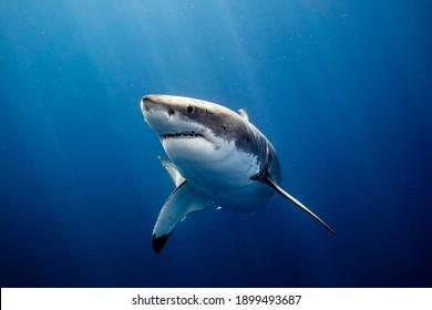 Great White Shark Close up Shot