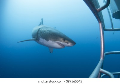 Great white shark with diving cage in clear blue water.