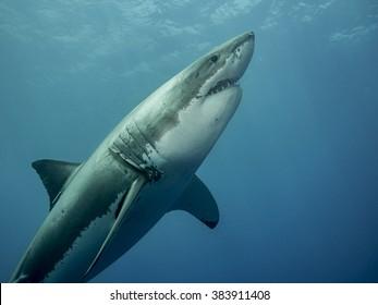 Great white shark emerging