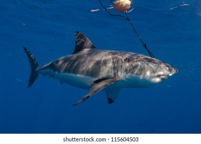I great white shark, and endangered animal attacks a bait hanging form a bouy at a popular dive tourism destination at Guadeloupe island Mexico.