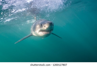 Great white shark, False Bay, Cape Town.