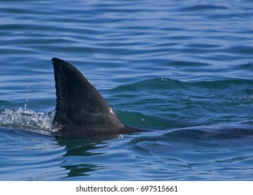 Great white shark: First dorsal fin