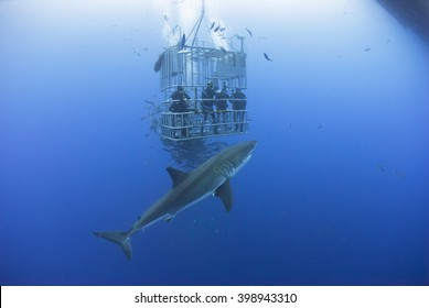 Great white shark in front of a diving cage with scuba divers.