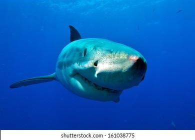 Great White Shark frontal / curious white shark swims to the divers in the cage