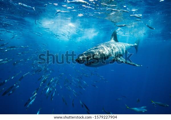 Great White Shark Guadalupe Island Mexico White Shark Big Fish Predator Carcharodon Carcharias Majestic Aggressive Shark Deep Blue Sea Ocean Pacific Ocean