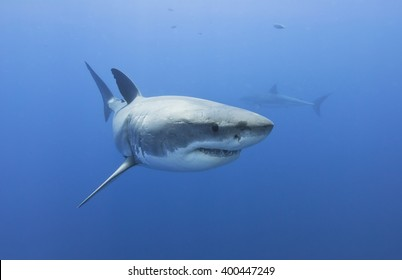 Great white shark head shot in clear blue water.
