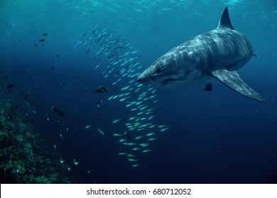 Great white shark hunting fish in deep blue water of sea