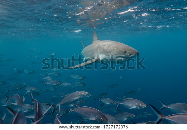 Great white shark and jack fish, Neptune Islands, South Australia.