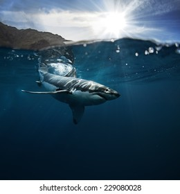 Great White Shark also known as carcharodon carcharias in Pacific ocean
