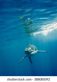 Great white shark with its main four fins swimming front in the blue Pacific Ocean at Guadalupe Island in Mexico under sun rays