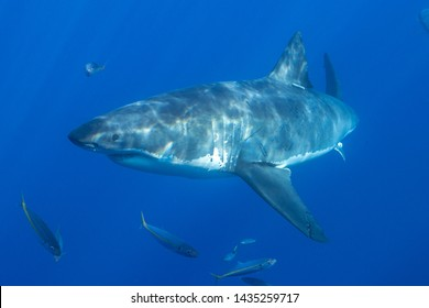 Great White Shark in Mexico
