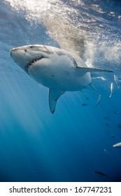Great white shark near surface.