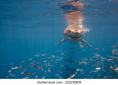 Great White Shark near surface in blue water.