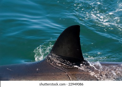 Great white shark nearby Dyer Island, South Africa