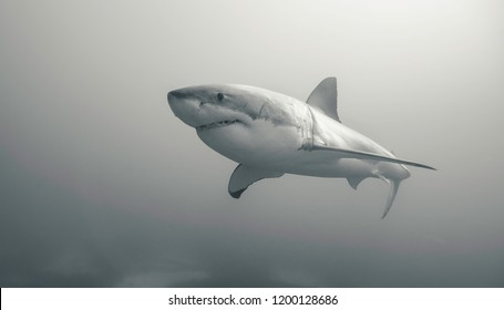 Great white shark, Neptune Islands, South Australia.