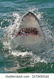 Great white shark with open mouth on the surface out of the water. Scientific name: Carcharodon carcharias.  South Africa,