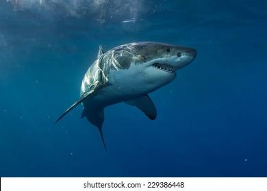 Great White Shark in Pacific ocean