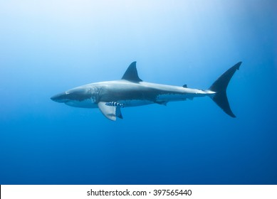 Great white shark with pilot fish from the side in clear blue water and the sun in the background.