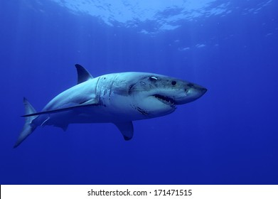 Great white Shark posing in the deep blue water