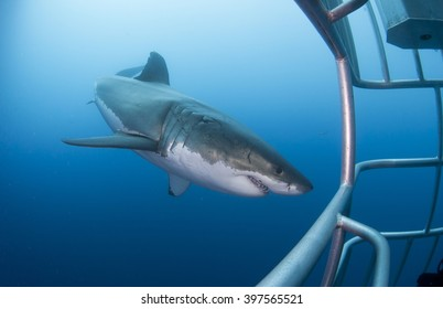 Great white shark showing sharp teeth in front of diving cage in blue water
