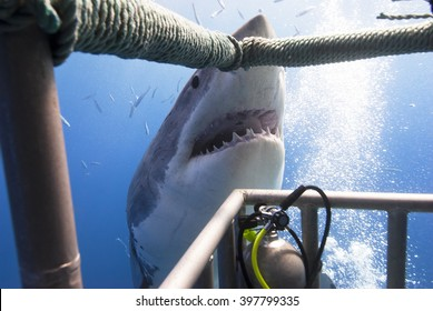 Great white shark showing its teeth in front of divers in a diving cage.