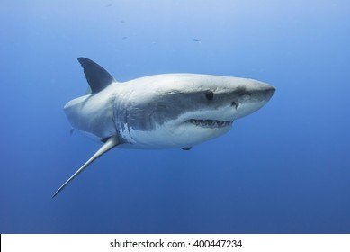 Great white shark showing its teeth in clear blue water.
