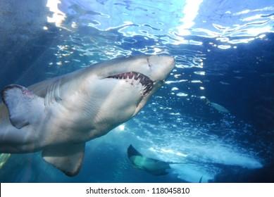 Great White Shark showing underside of the shark