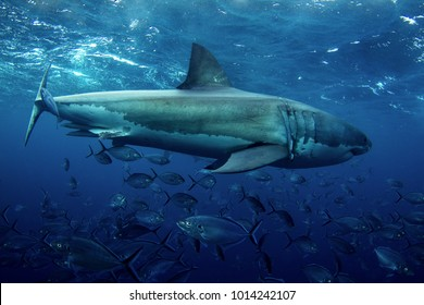 Great White Shark side one view