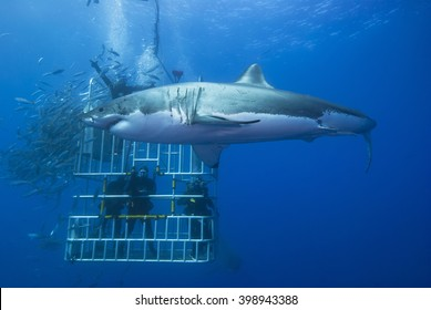 Great white shark sideways in front of a diving cage with scuba divers.