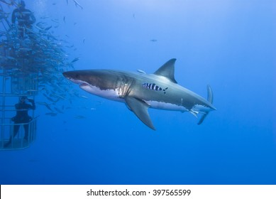 Great white shark sideways with pilot fish in clear blue water.