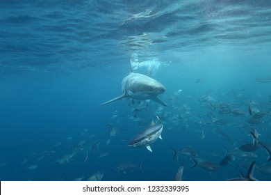great white shark with silver trevallies and yellowtail kingfish, Neptune Islands, South Australia