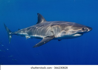 Great white shark, South Africa
