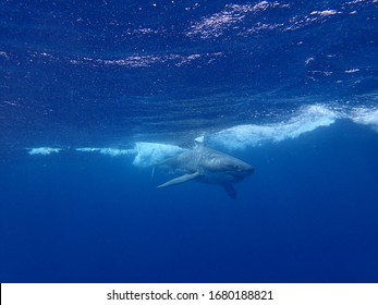 Great White Shark South Australia Neptune Islands