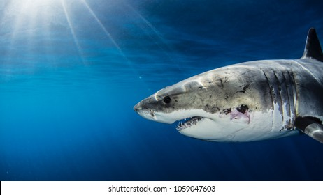 Great White Shark with Sun Rays and wound