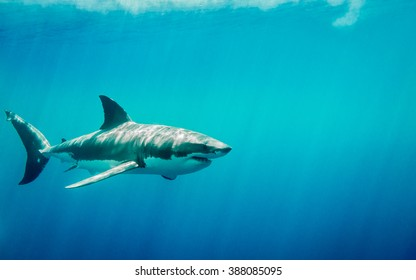 Great white shark swimming in the blue Pacific Ocean  at Guadalupe Island in Mexico under sun rays
