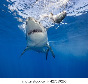 Great white shark swimming in blue water, Guadalupe Island Mexico