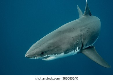 Great white shark swimming in the depths of the Pacific Ocean at Guadalupe Island in Mexico
