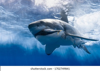 Great White Shark swimming and hunting